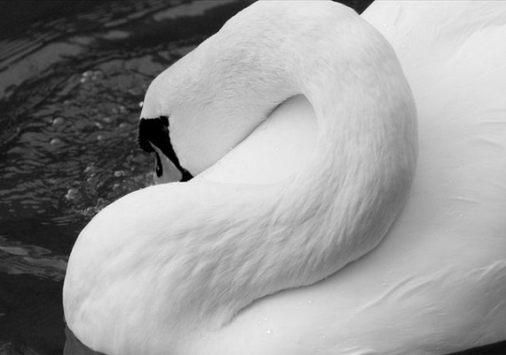 Dream on, dream on, There's nothing wrong, If you dream on, dream on, Of being a swan